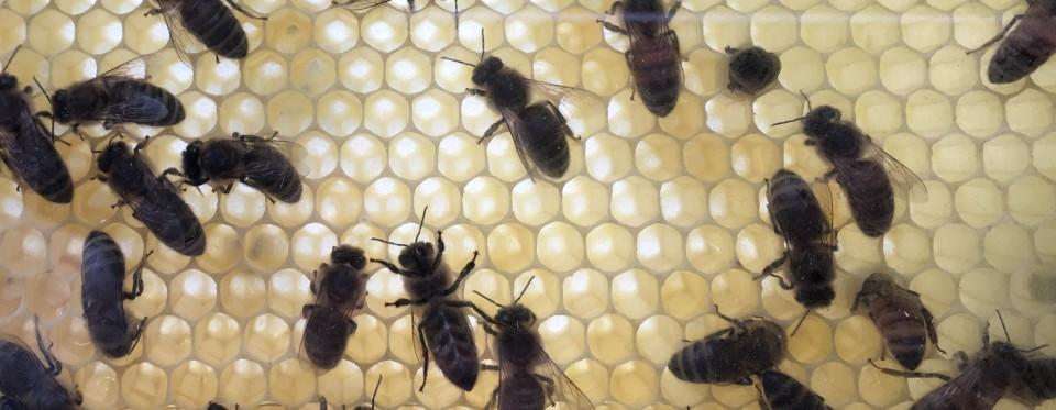 Beitragsbild Bienen