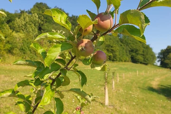 Alte Apfelsorten erhalten mit dem Verein Wieseninitiative